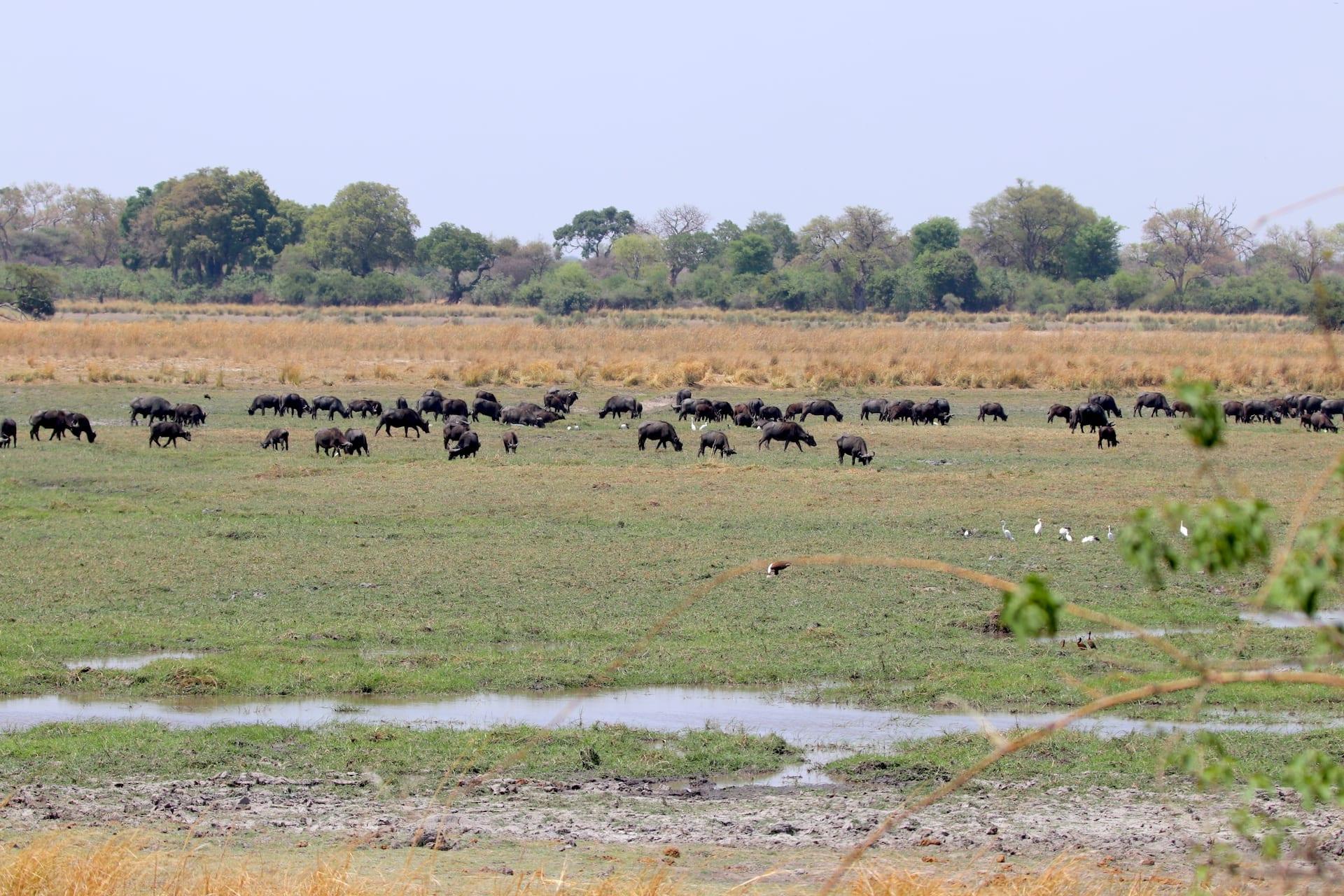 ALGEMEEN - NAM - Bwabwata Buffalo Core uitzicht buffels - 2018