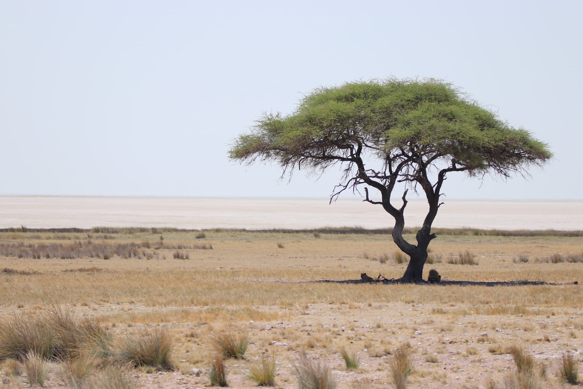 ALGEMEEN - NAM - Etosha - leeuwen onder boom - 2018 kopie