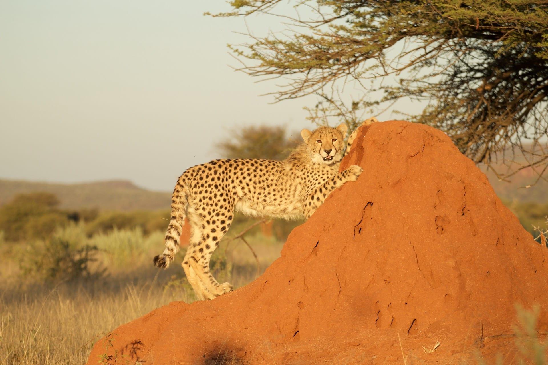 ALGEMEEN - NAM - Okonjima cheetah 5 2015