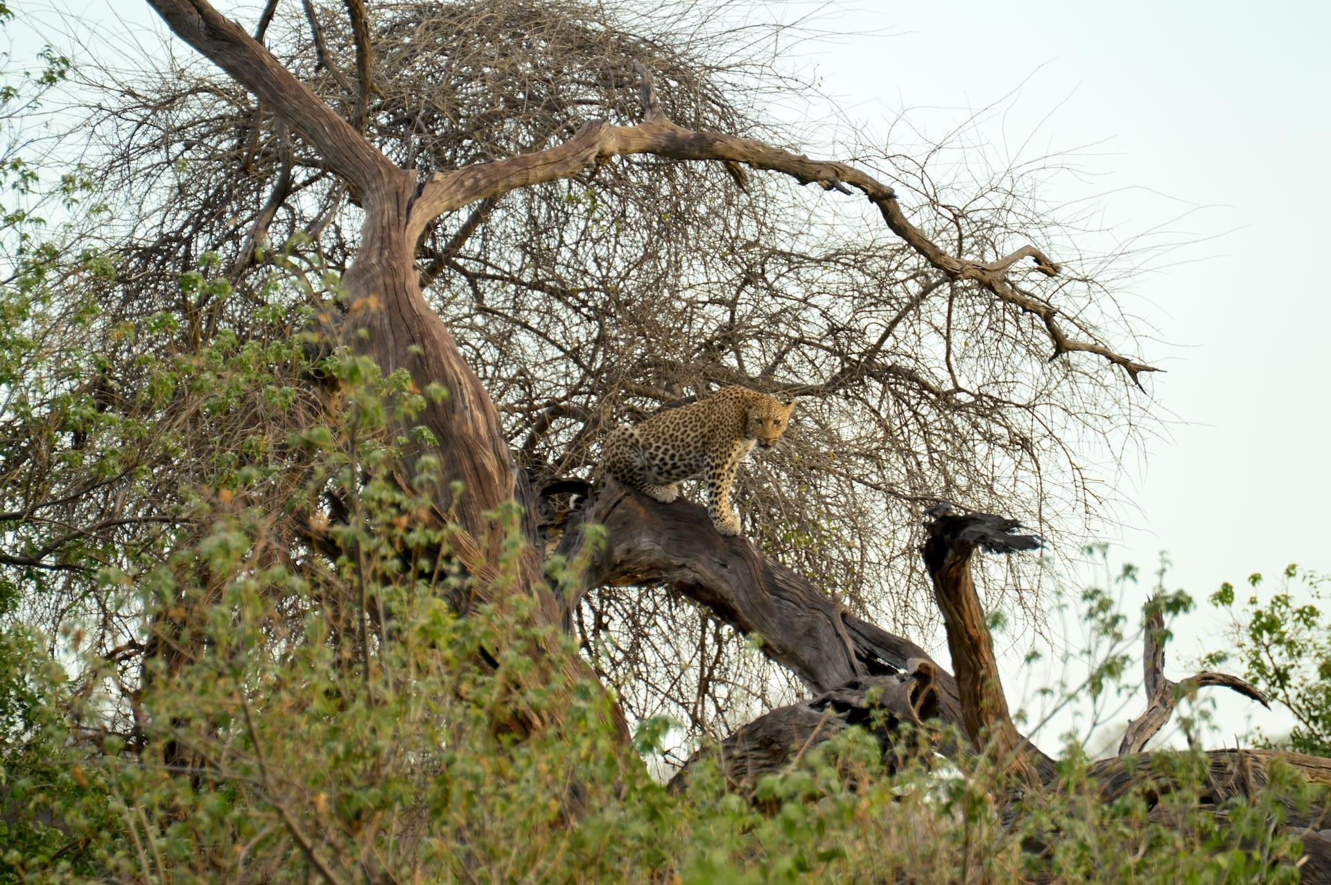 Algemeen - BW - Chobe Luipaard kopie