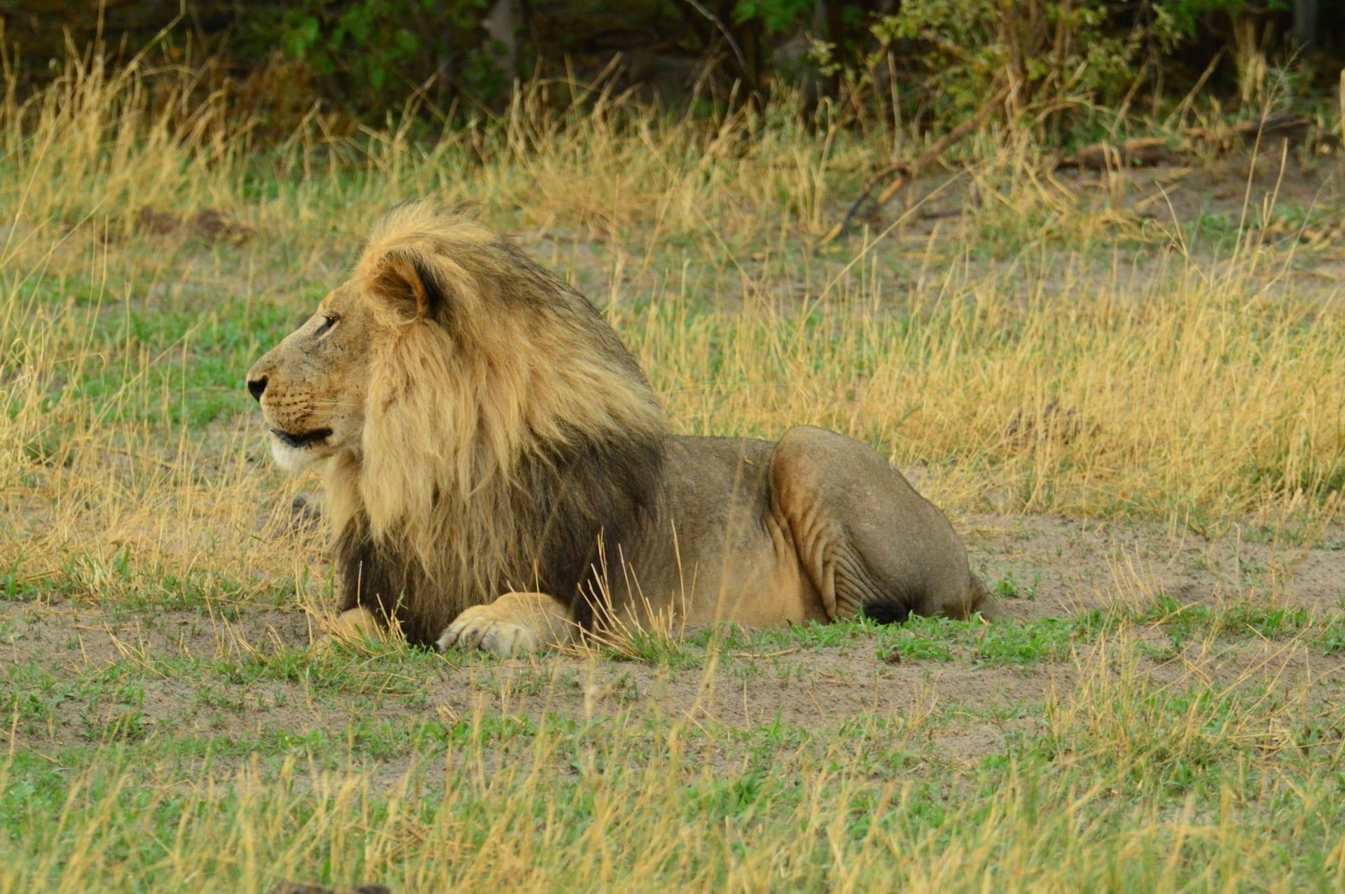 Algemeen - BW - Savuti leeuw na regen kopie