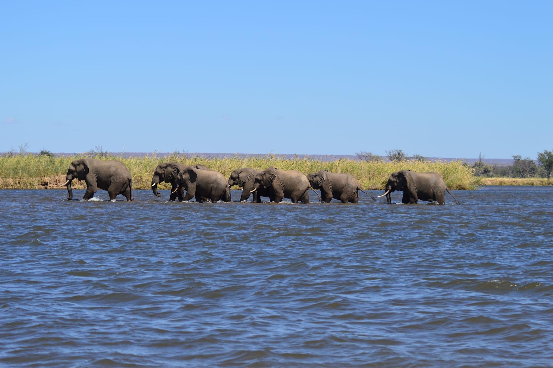 ALGEMEEN - ZAM - olifanten in de Zambezi Rivier