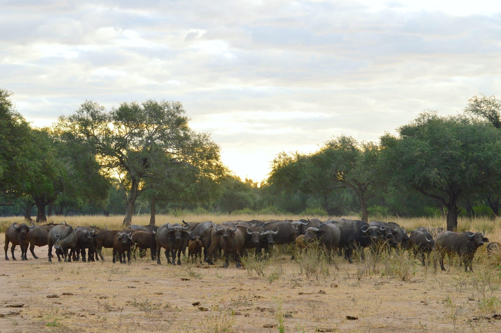 ALGEMEEN - ZAM - Buffels in het Lower Zambezi National Park - anabezi