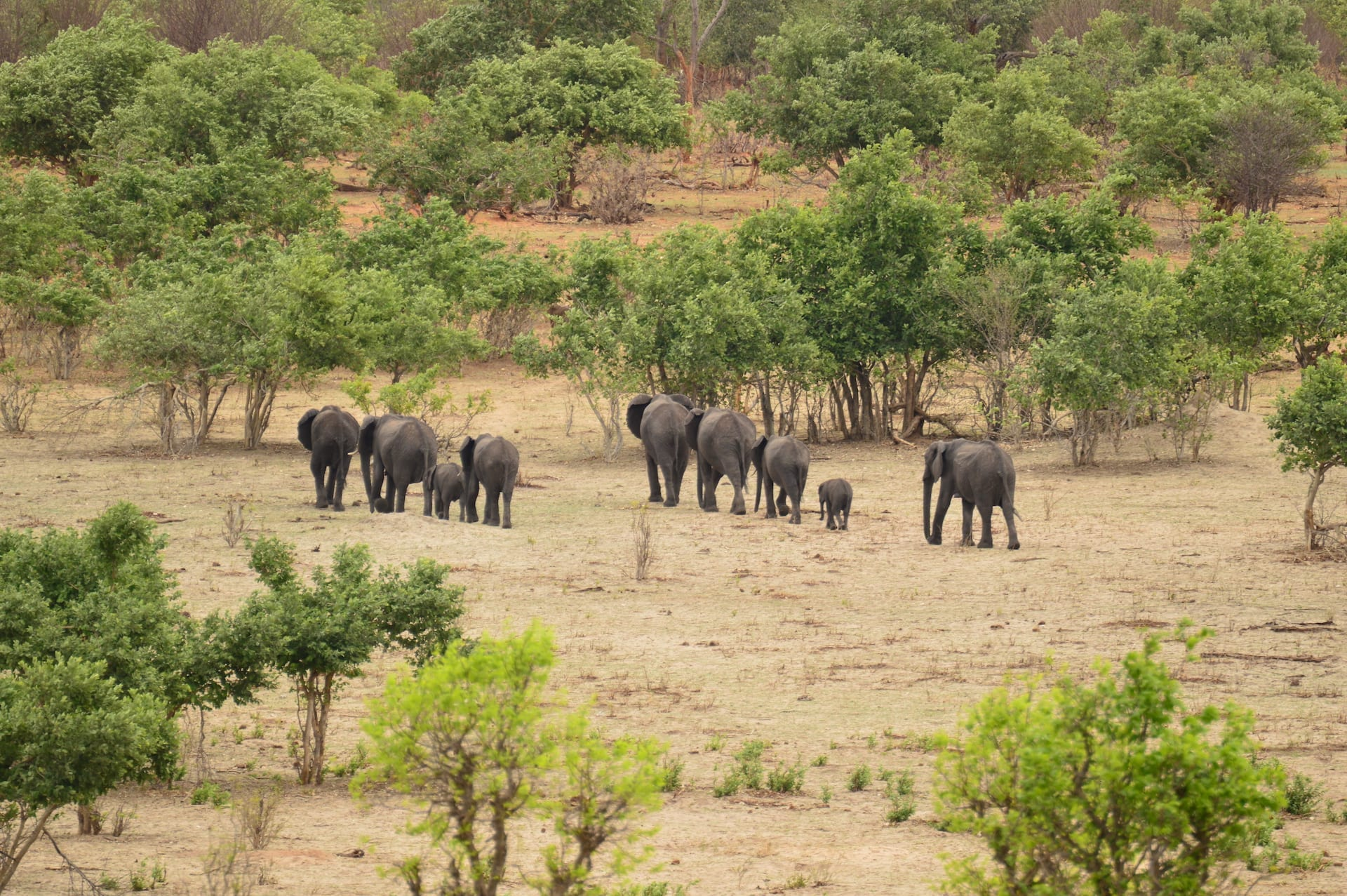 ALGEMEEN - BW - Chobe Olifanten lopend - BW 5