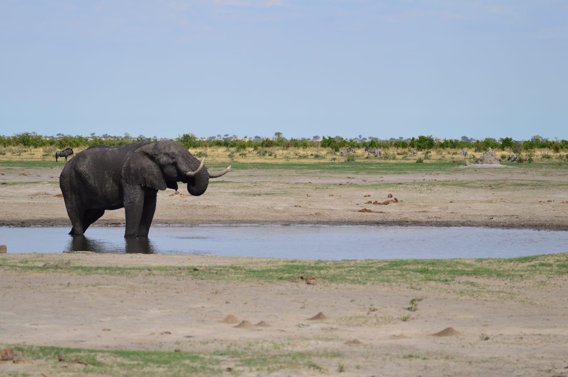 ALGEMEEN - BW - Savuti olifant bij waterplaats - BW 5