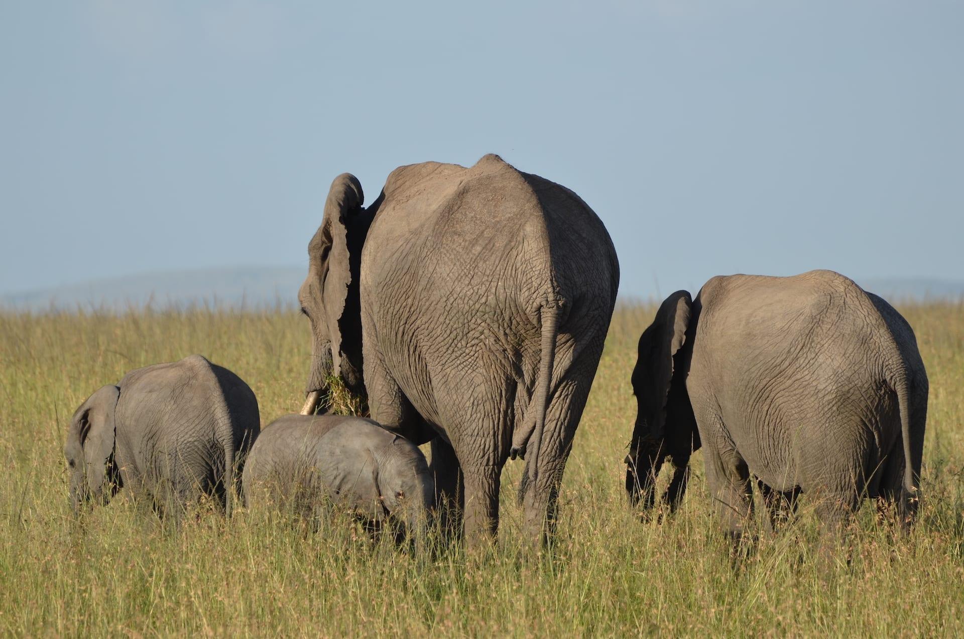ALGEMEEN - Elephants 2 - KEN 2