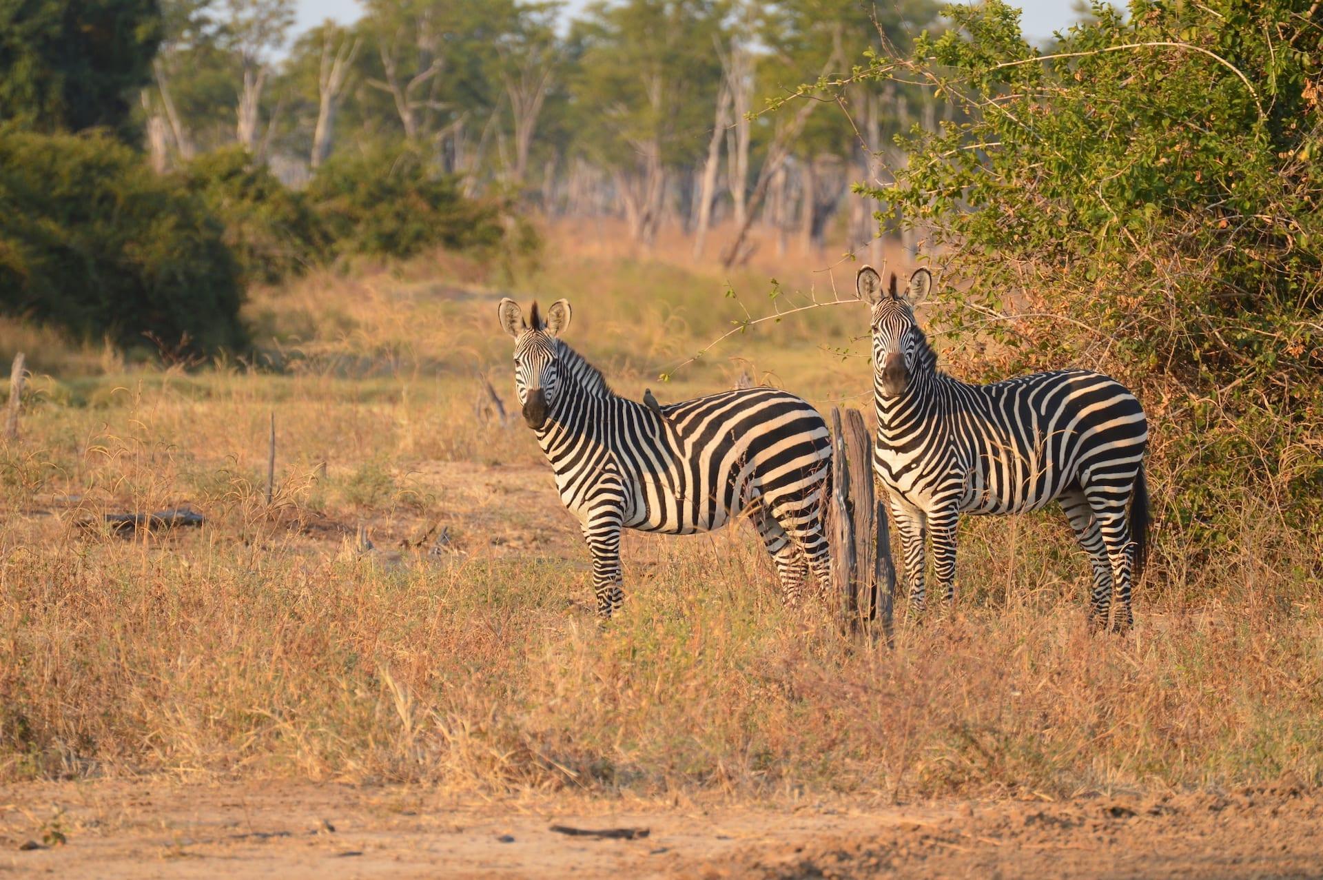 ALGEMEEN - ZAM - Zebra's Mwamba 0466