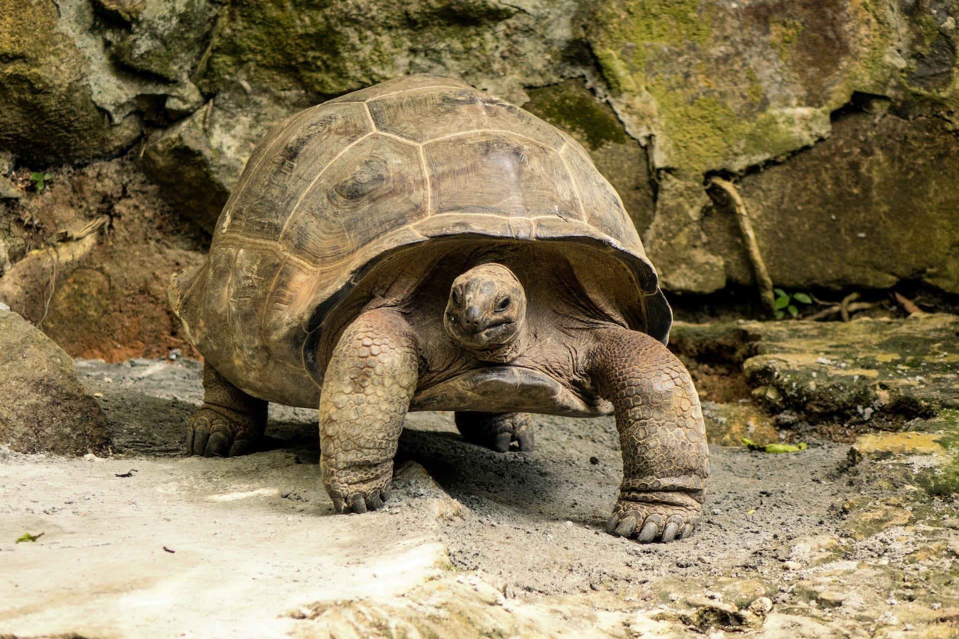 ALGEMEEN - SEY - Denis - Giant Tortoise (2)