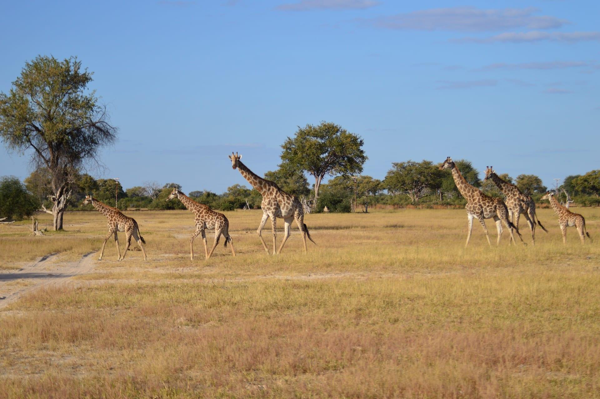 ALGEMEEN - Safari Hwange Camelthorn0017- BW 8