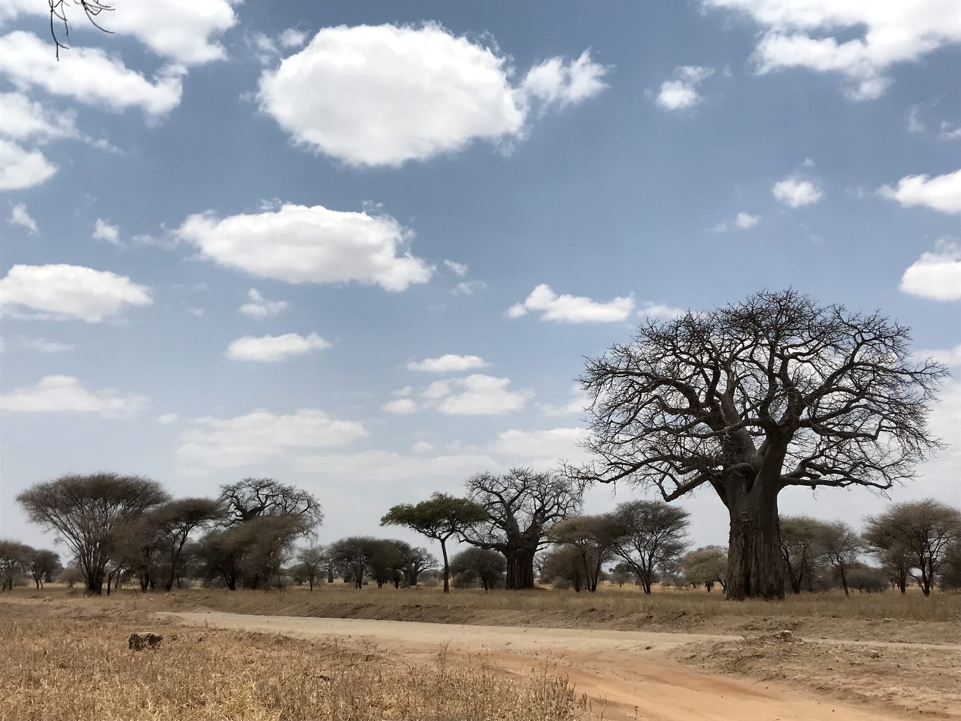 ALGEMEEN - TZ - Tarangire_ baobab 4151
