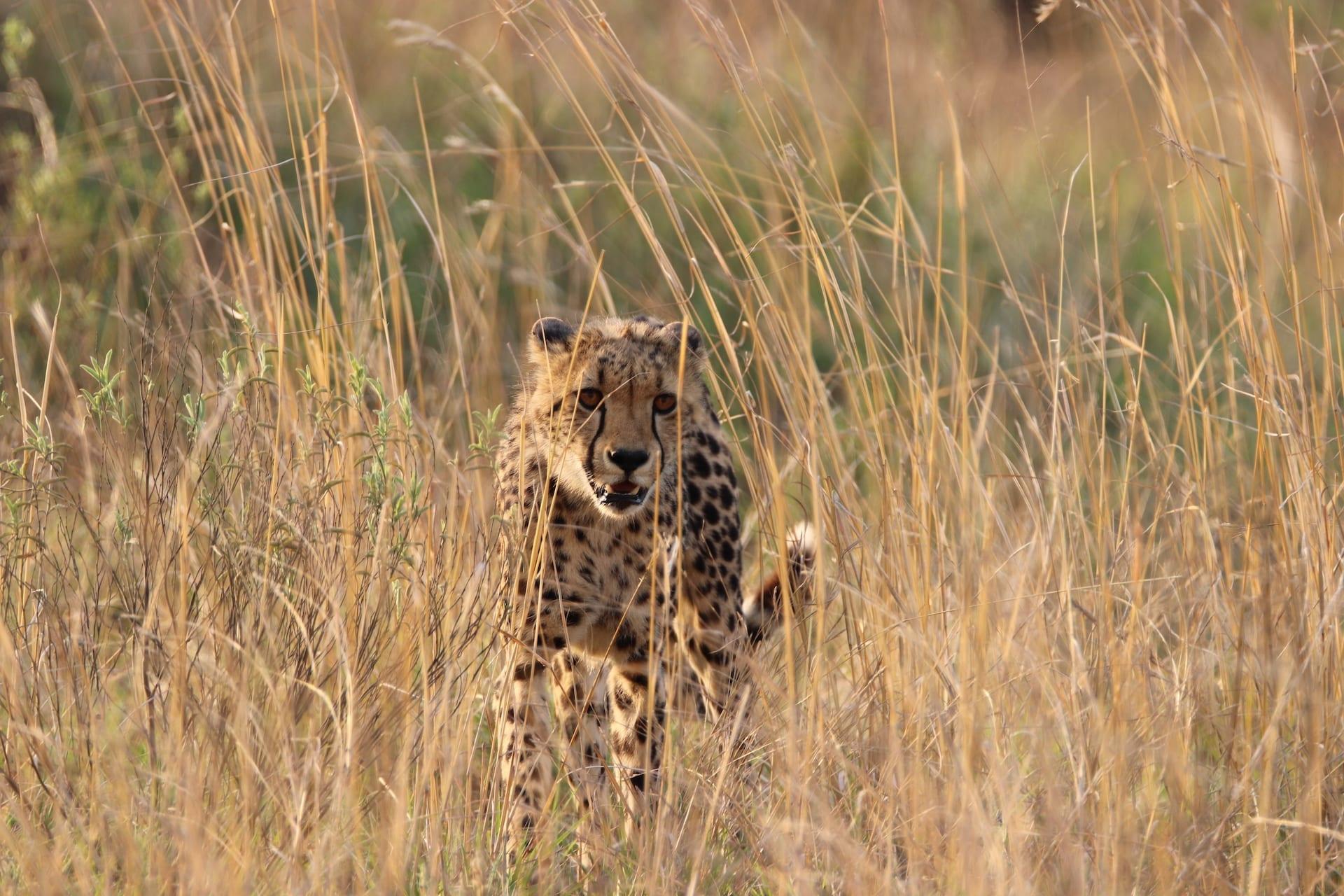 ALGEMEEN - ZA - Nkomazi - cheetah 2 NOV 2019