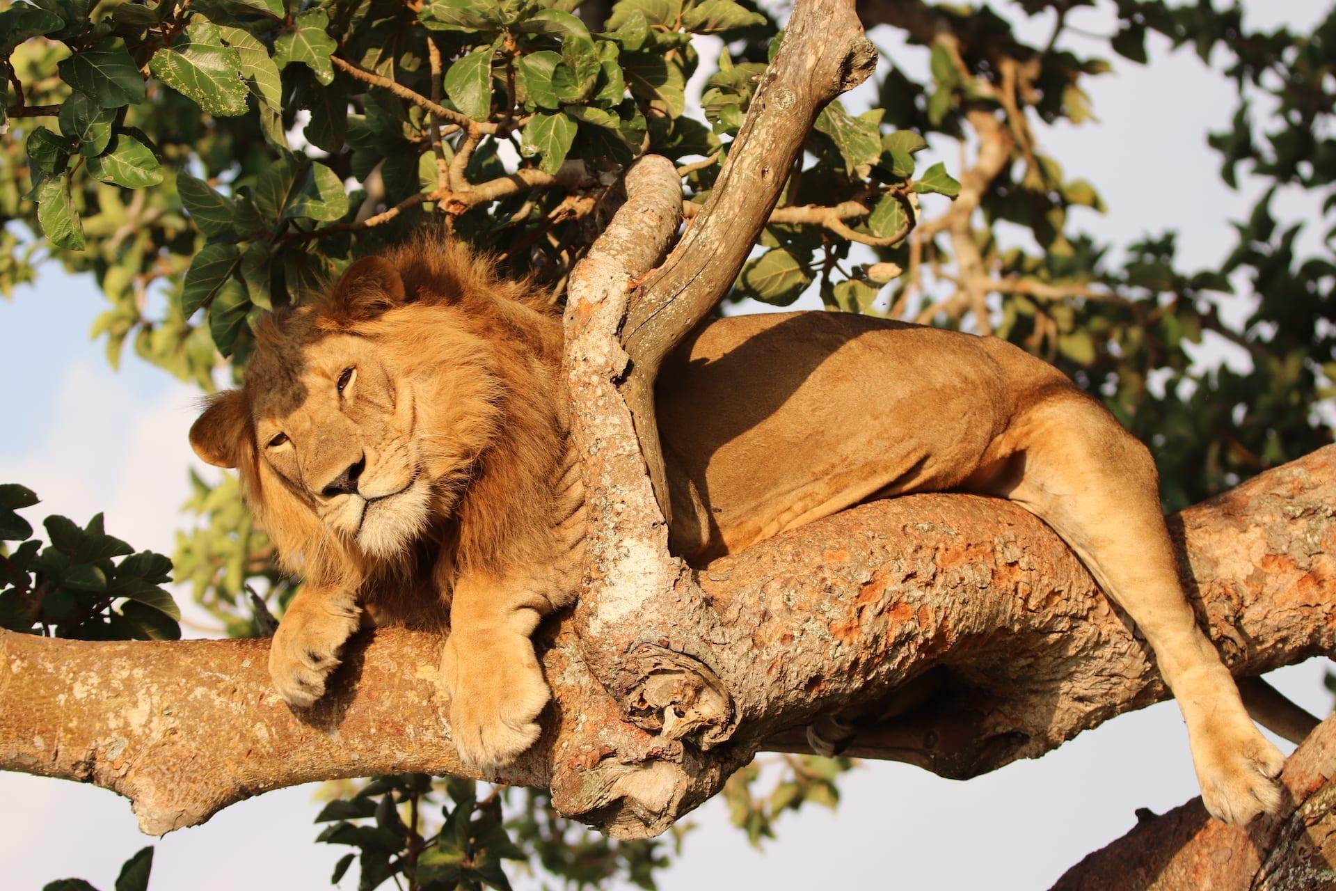 OVERIGE LANDEN - ALGEMEEN - OE - boomklimmende leeuwen - IMG_7122