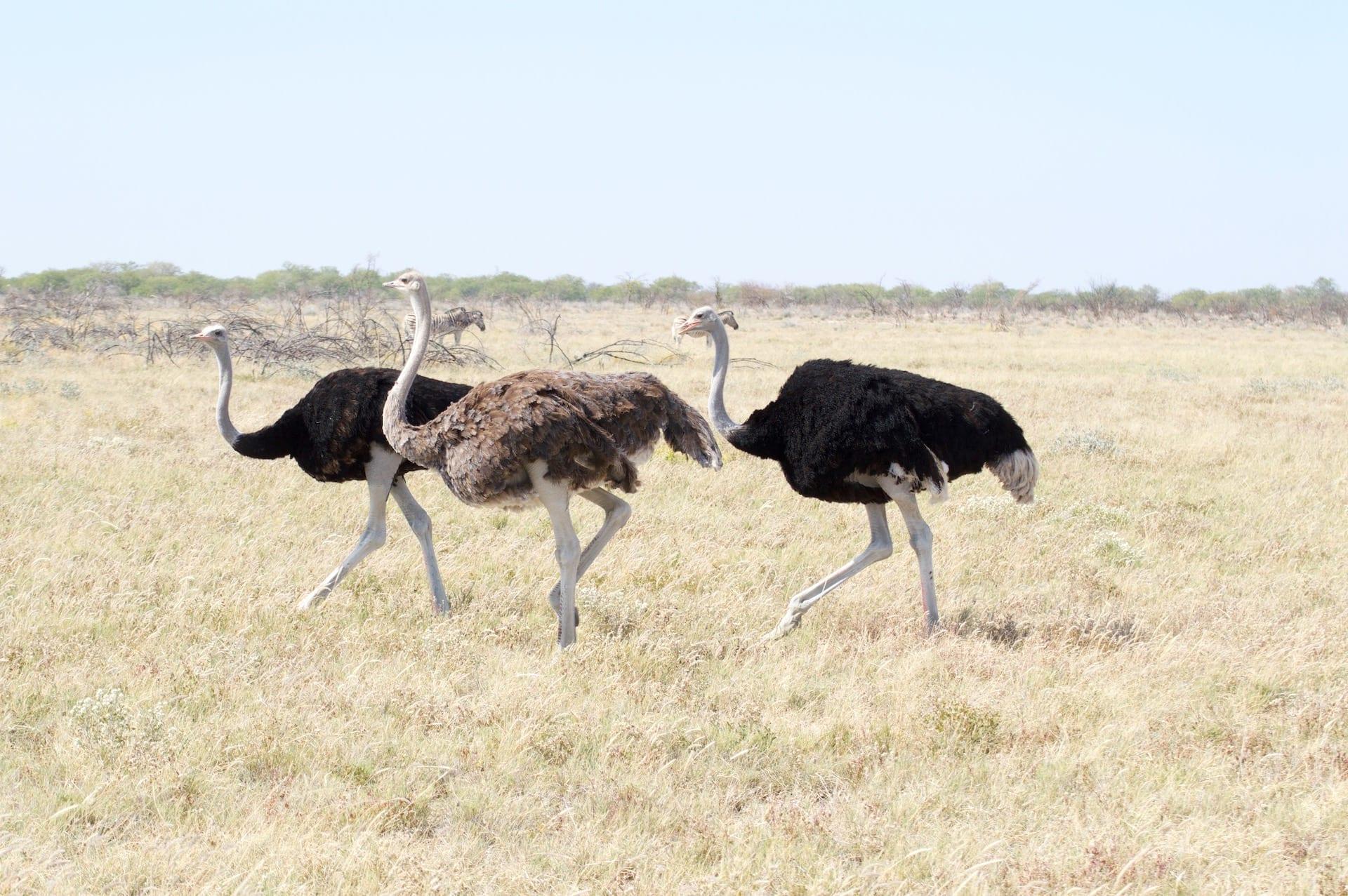# FOTO - NAM Etosha struisvogel 2015