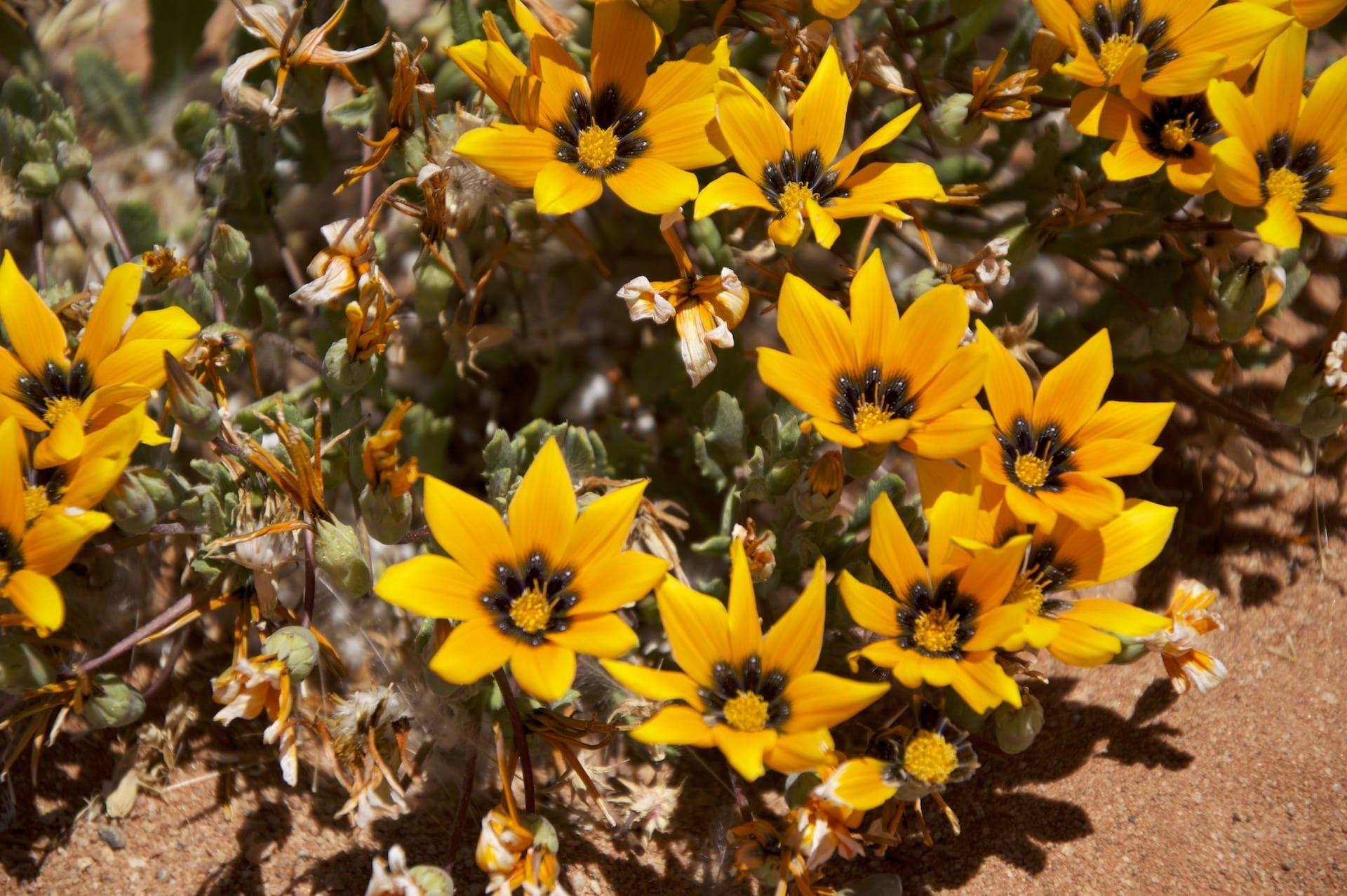 # FOTO - Wild Flowers Namaqualand - DSC_0745 (1)