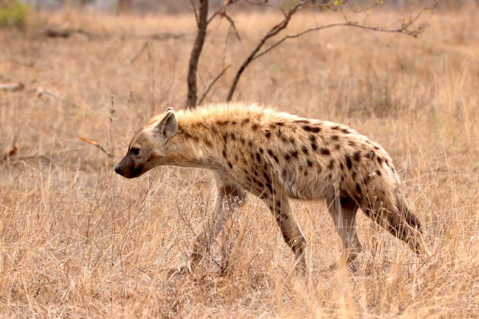 # FOTO - ZA 1 - ZA - Klaserie - hyena NOV 2019