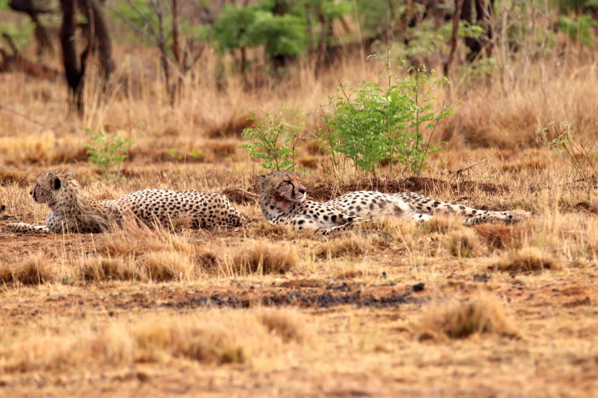 # FOTO - ZA - Welgevonden - cheetah NOV 2019