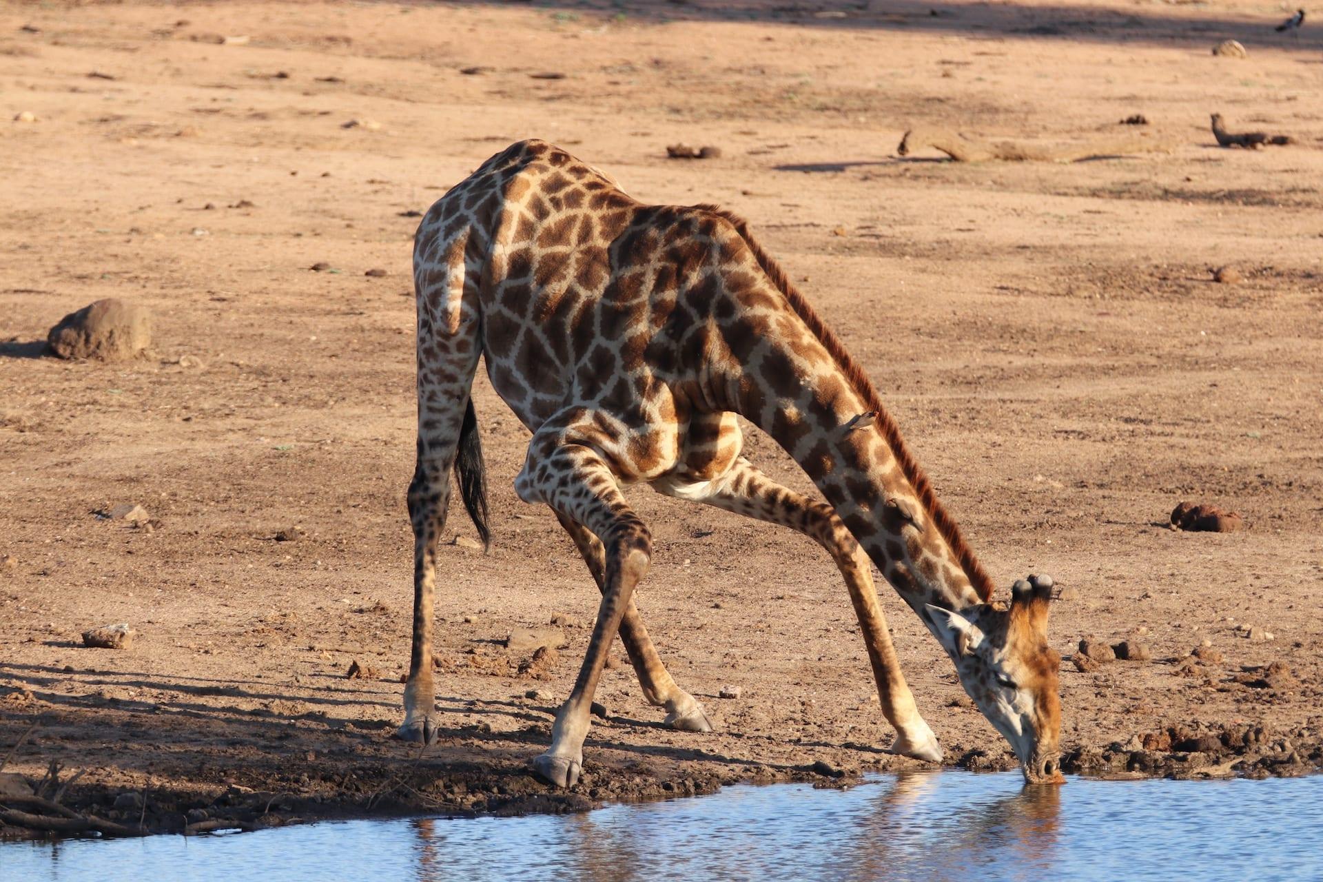 # ZA 14 - ZA - Klaserie - giraffe - NOV 2019